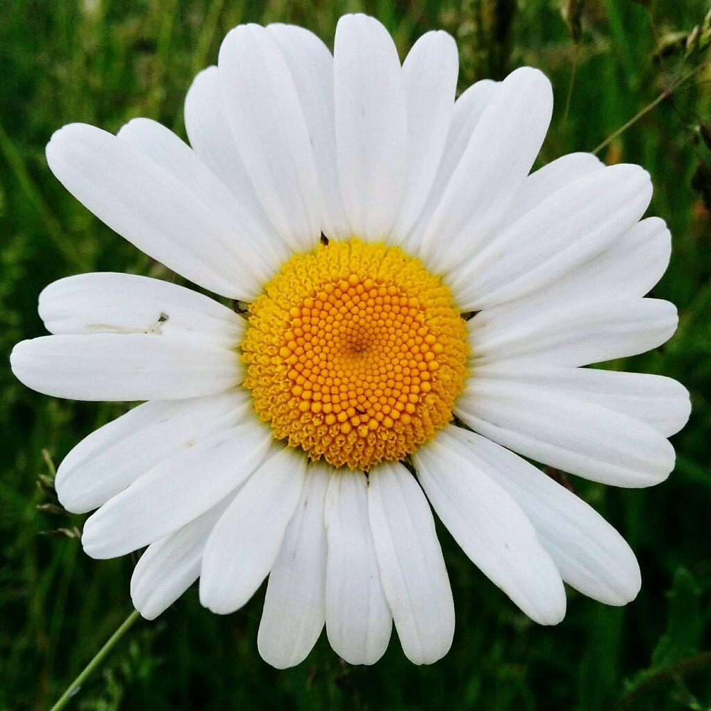 Marguerite #flowerporn